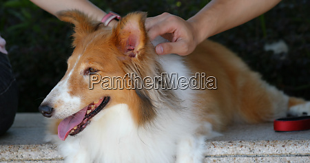 pet owner cuddle on scotch collie
