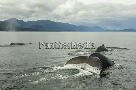 usa alaska tongass national forest humpback