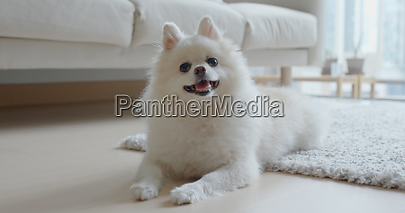 white pomeranian dog at home