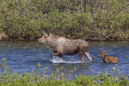 alaskan cow moose with young calf