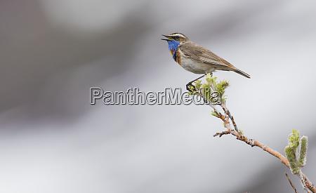 bluethroat singing on territory