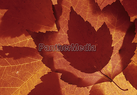 wa redmond maple leaf collage