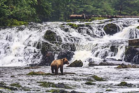 young brown bear ursus arctos fishing