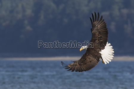 bald eagle preparing to strike