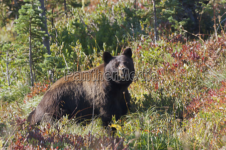 black bear autumn berry country