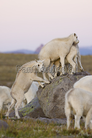 playful mountain goat kids