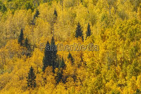aspens in fall on steep mountain