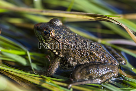 green frog rana clamitans melanota in