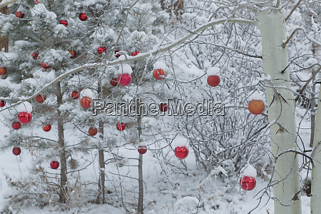 usa colorado fresh snowfall on trees