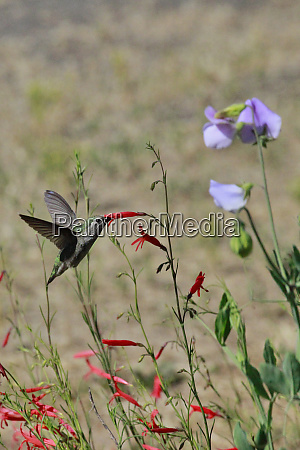 usa oregon usa oregon portland hummingbird