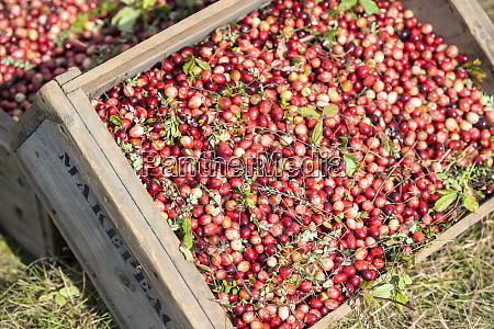 usa massachusetts wareham cranberries large format