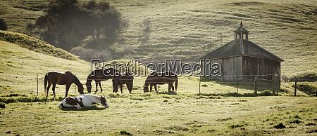 usa california olema horses and old