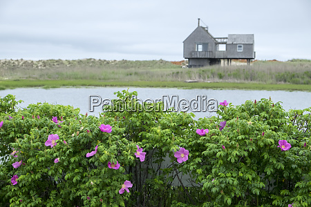beach roses madaket nantucket massachusetts usa