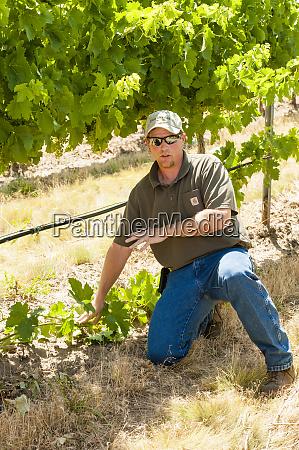 usa washington state walla walla vineyard