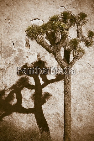 joshua tree yucca brevifolia and shadow