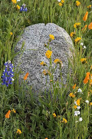 usa california lupine phacelia california poppies