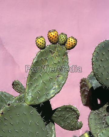 usa california salinas valley prickly pear