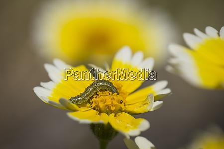 caterpillar on tidy tips flower california