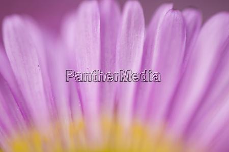 sea daisy california native flower los