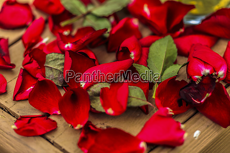 dying red roses falling petals