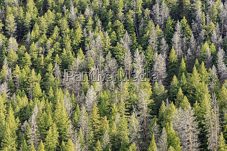 mountain pine beetle damage lodgepole pines