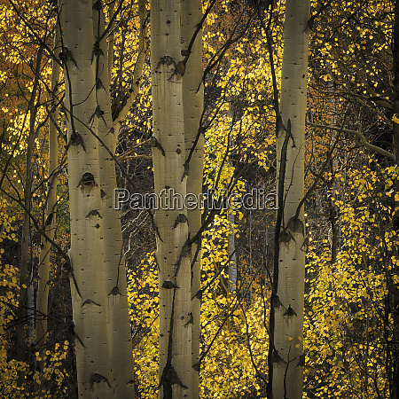 quaking aspen glow kinney creek colorado