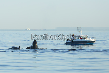 spyhopping orca near fishing boat from