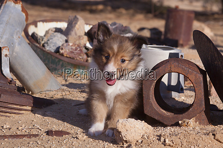 shetland sheepdog puppy pr