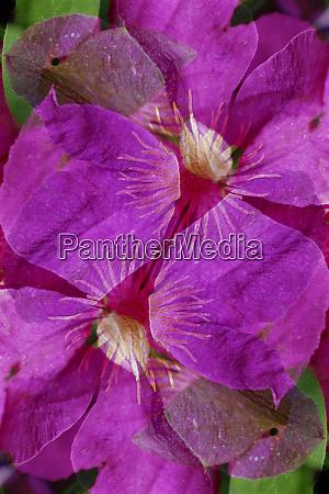 usa colorado boulder clematis flower montage