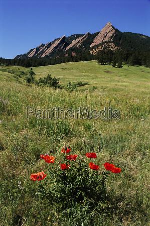 usa colorado boulder flatirons and poppies