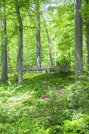 azalea woods winterthur delaware usa