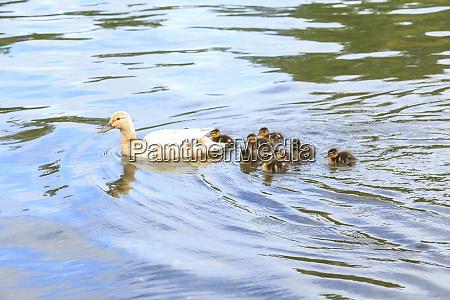 mom and baby mallard ducks green