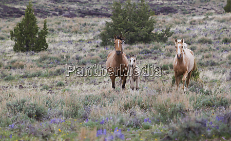 wild horses wild mustangs