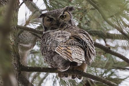 great horned owl dangerous point of