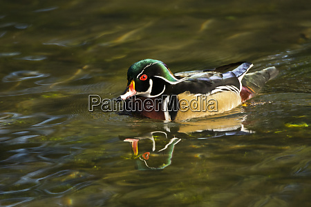wood duck swimming crystal springs rhododendron