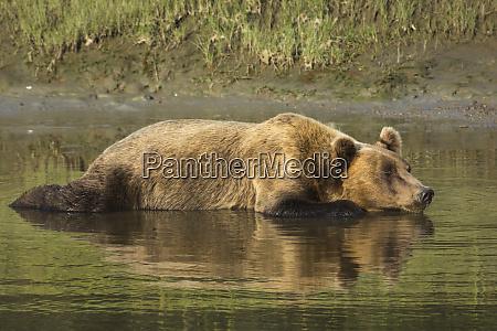 adult coastal grizzly bear ursus arctos