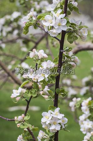 usa massachusetts bolton apple trees in