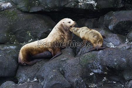 steller sea lion pair