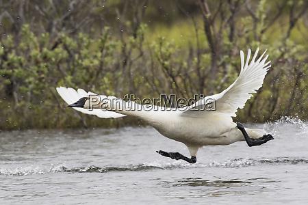 tundra swan taking flight