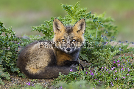usa, , washington, state., red, fox, kit. - 27807206