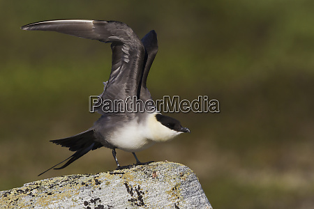 long tailed jaeger stretching wings
