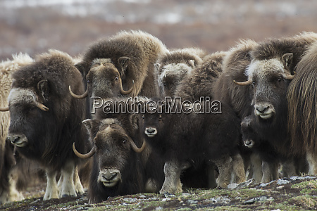 muskox curious youngster