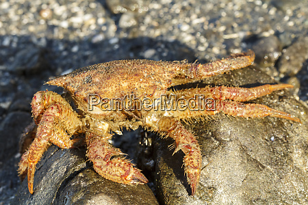 usa alaska crab carapace on the