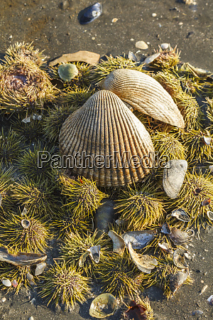 usa alaska clam shell on a