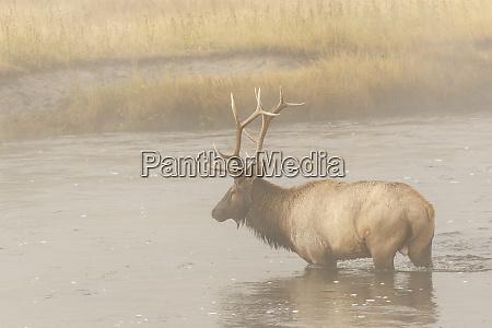 bull elk on foggy morning along