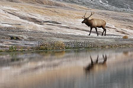 bull elk and reflection at base