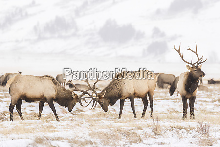 usa wyoming national elk refuge bull