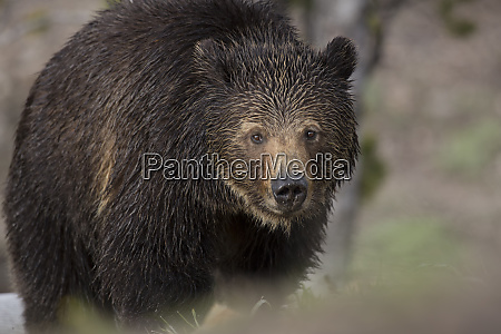 usa wyoming yellowstone national park grizzly