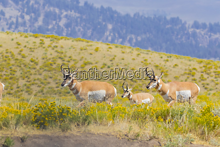 usa wyoming yellowstone national park pronghorn