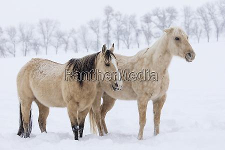 pair of quarter horses in winters